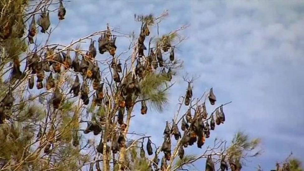 Fruit bats invade Australian town