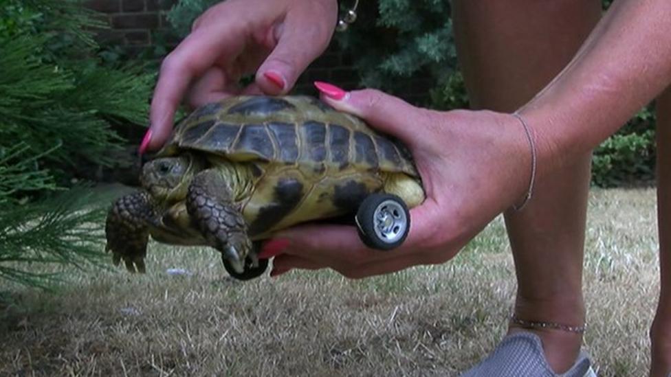 Harriet the tortoise gets wheels