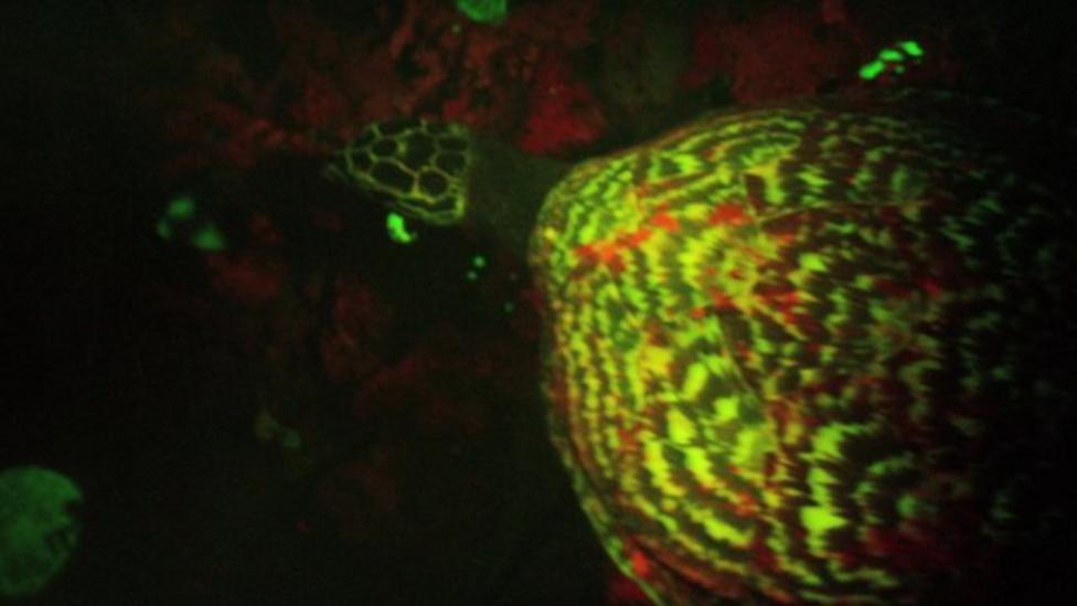 World's first 'glowing' turtle found