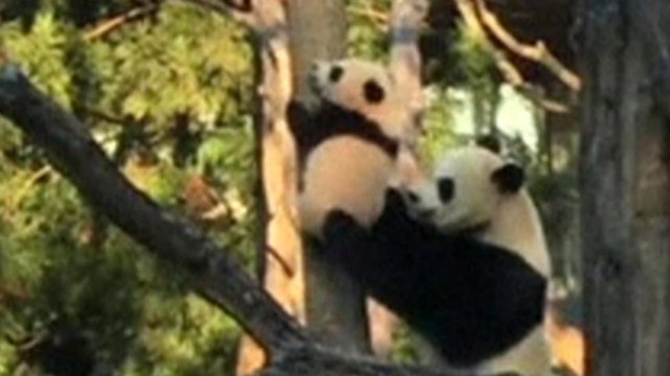 Baby panda climbs his first tree