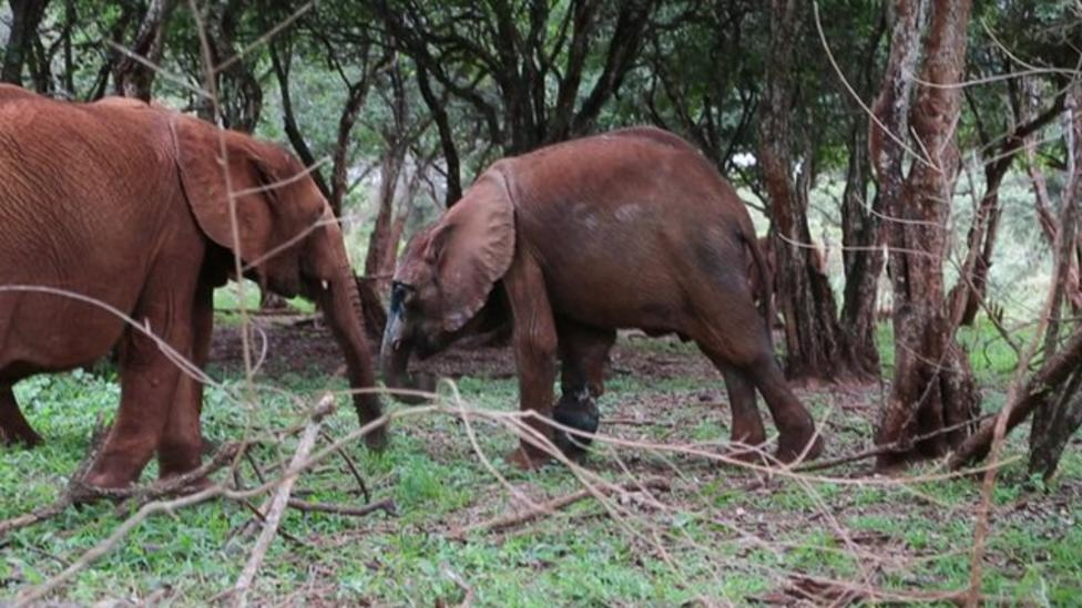 Baby elephant recovers after rescue
