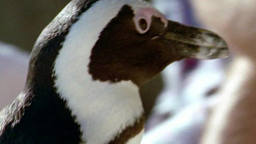 Why are African penguins disappearing?
