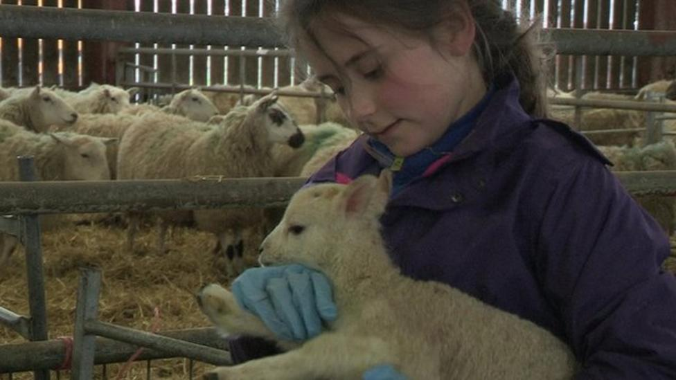 Child farmers help deliver lambs