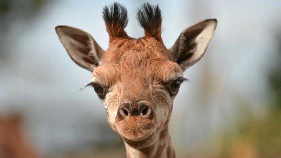 Rare baby giraffe takes first steps