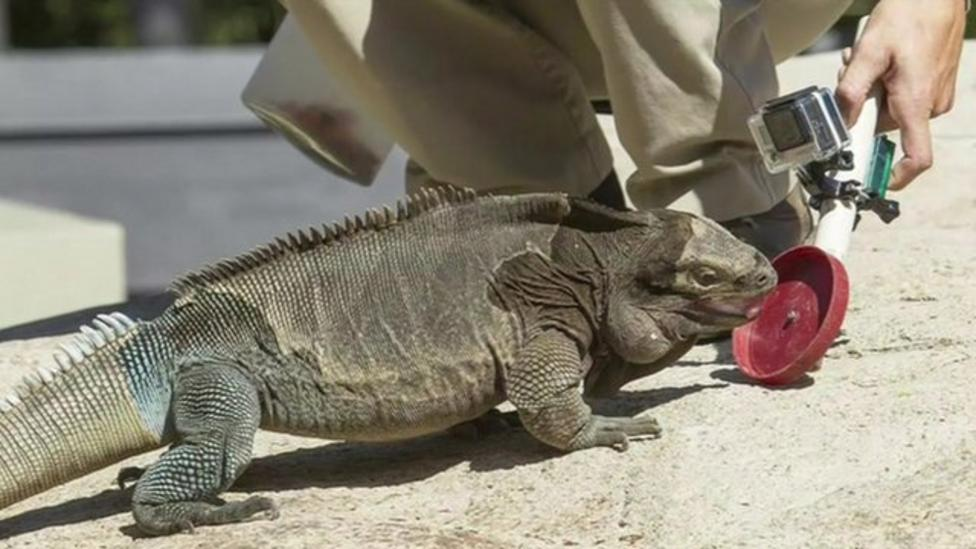 Special training for little iguana