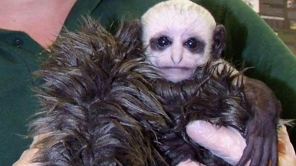 Newborn monkey looks exactly like Lord Voldemort!