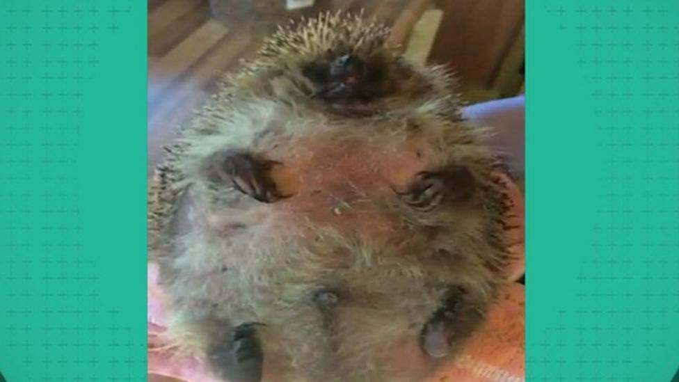 The fattest hedgehog you've ever seen