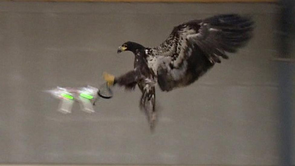 The eagles trained to catch drones