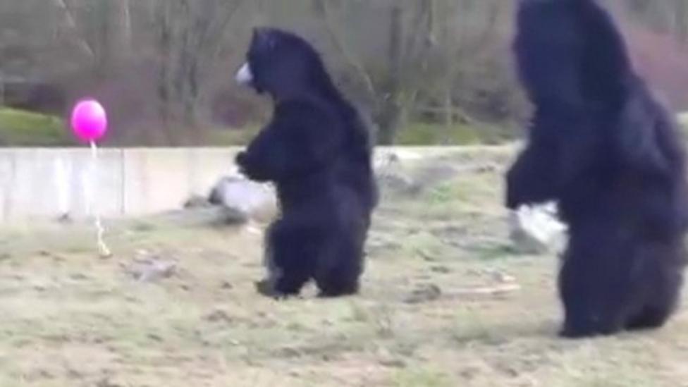 Bears enjoy balloon chase at Dutch zoo