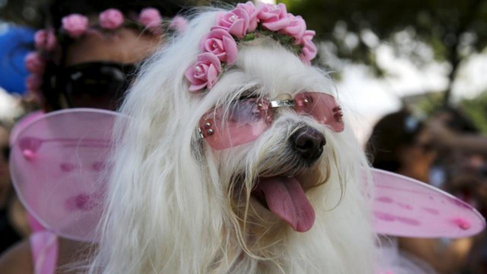 Fancy dress dogs take to Rio carnival