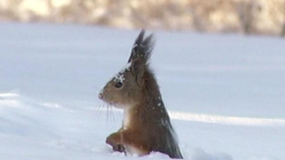 Squirrel caught 'diving' in snow