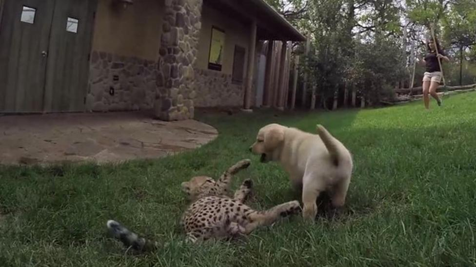Watch cheetah and pup playing together