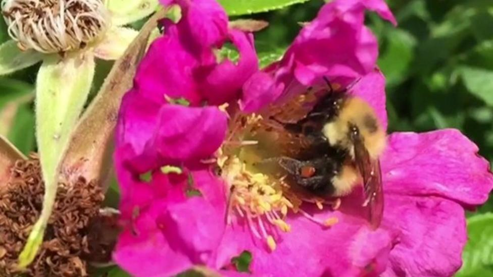 Bees 'at risk' from rising temperatures