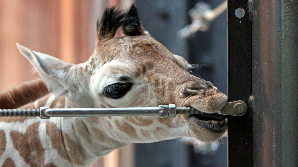 How strong is a giraffe's tongue?