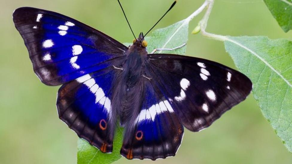 Meet the butterfly that eats poo