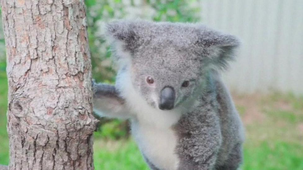 Koala climbing trees again after accident