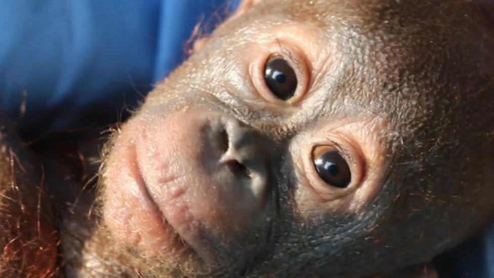 Baby orangutan miracle recovery