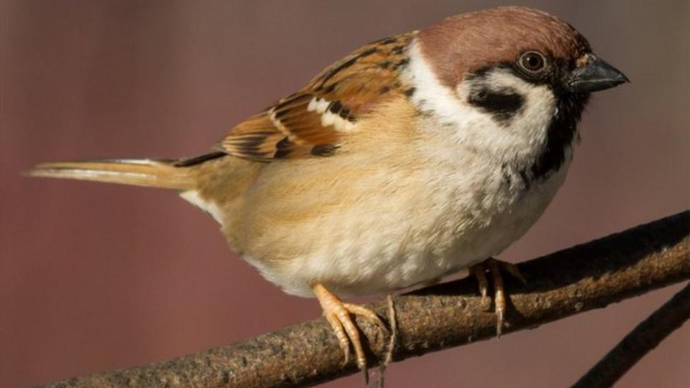 House Sparrow most common bird in UK
