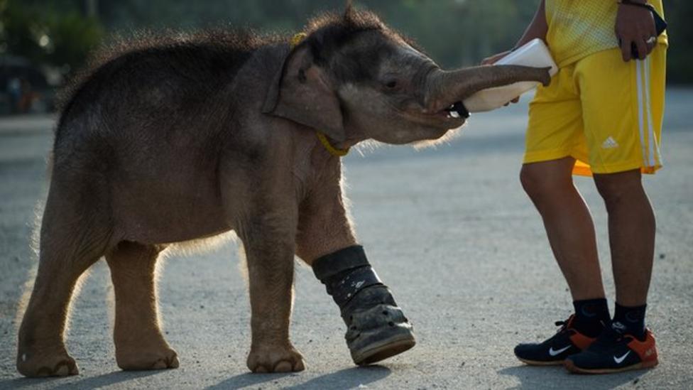 Baby elephant learns to walk again