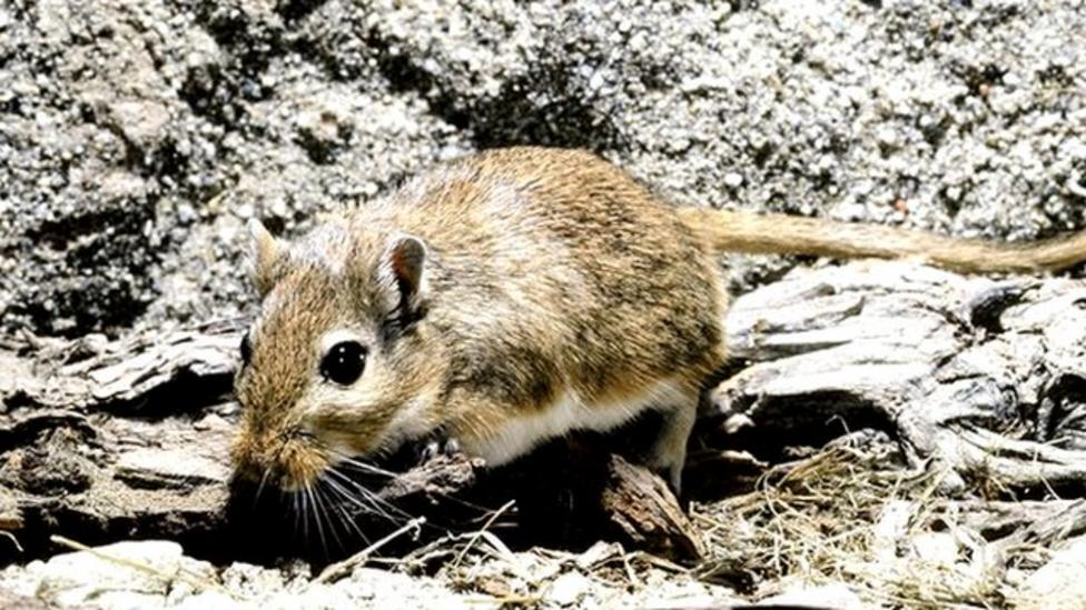 Plague caused by gerbils not rats