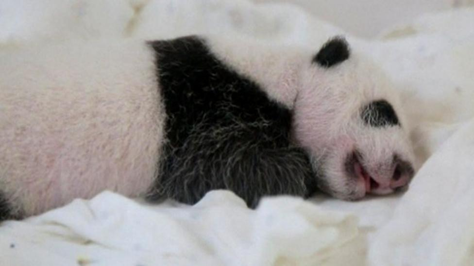 Panda twins meet for the first time