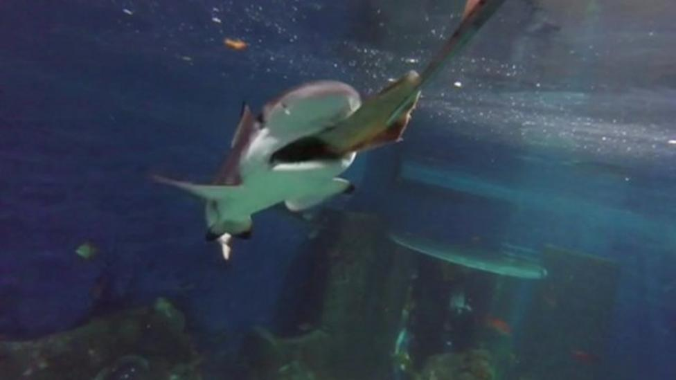 Why sharks don't eat other fish in aquariums