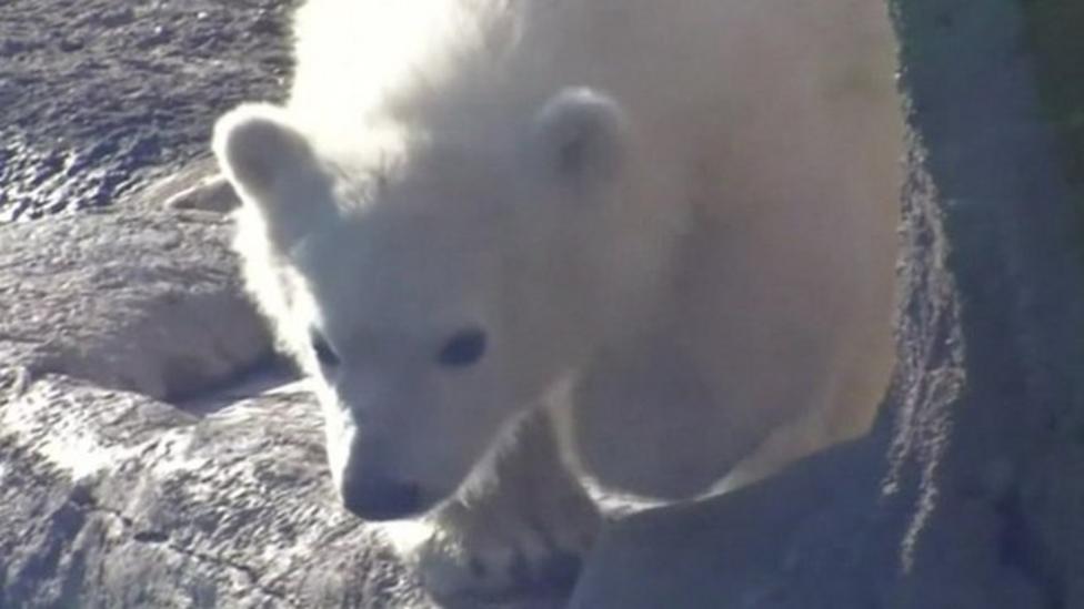 Baby polar bear makes a splash at US zoo