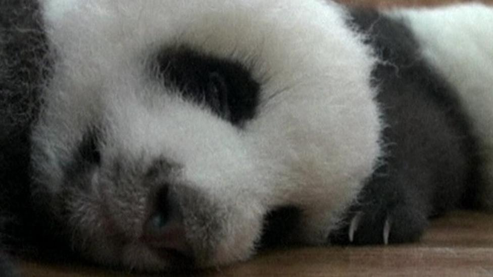 Cute panda cubs go on show in China