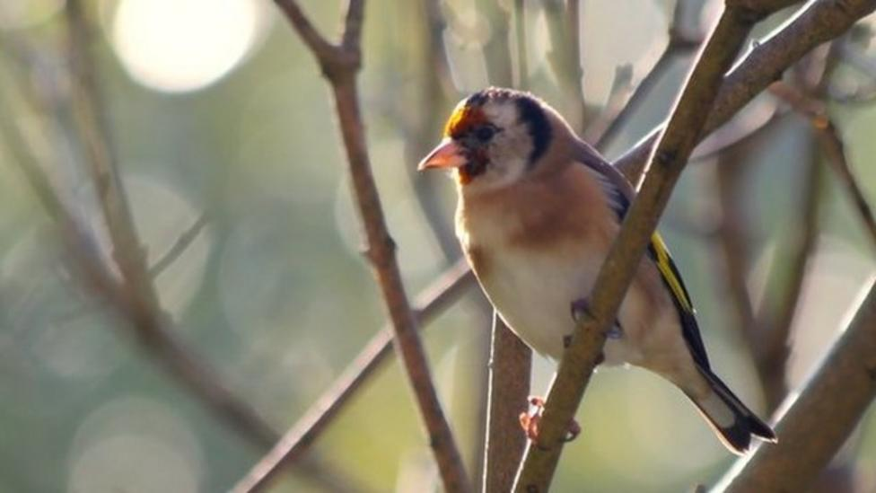 What brings goldfinches to gardens?