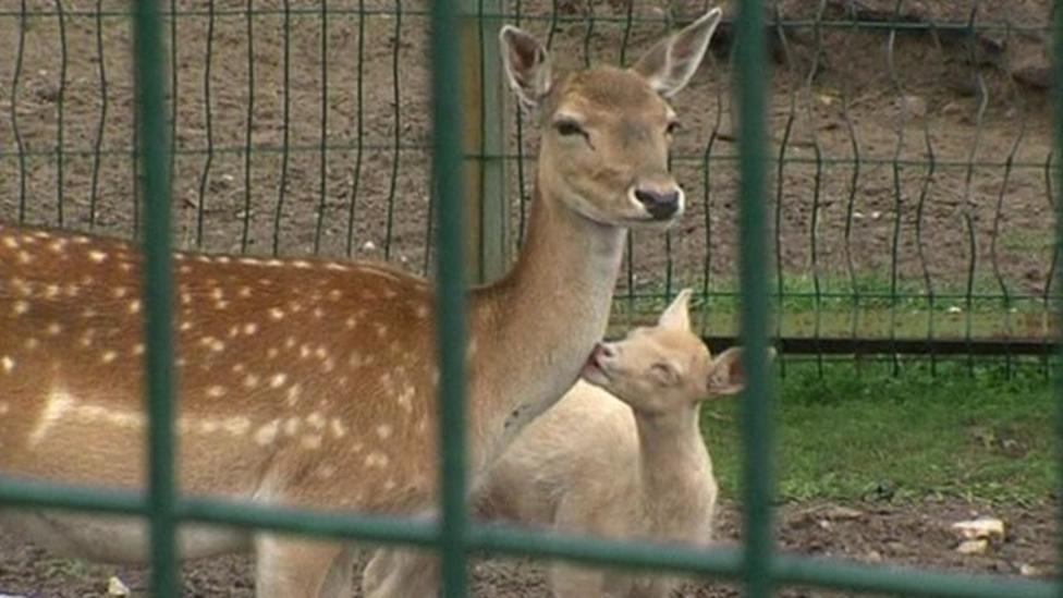 Rare deer born in Russia