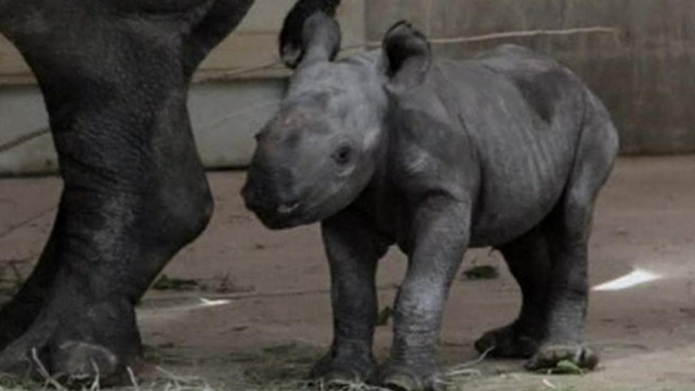 Eastern black rhino baby born at US zoo