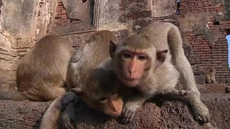 Monkeys moved away from people in Thailand