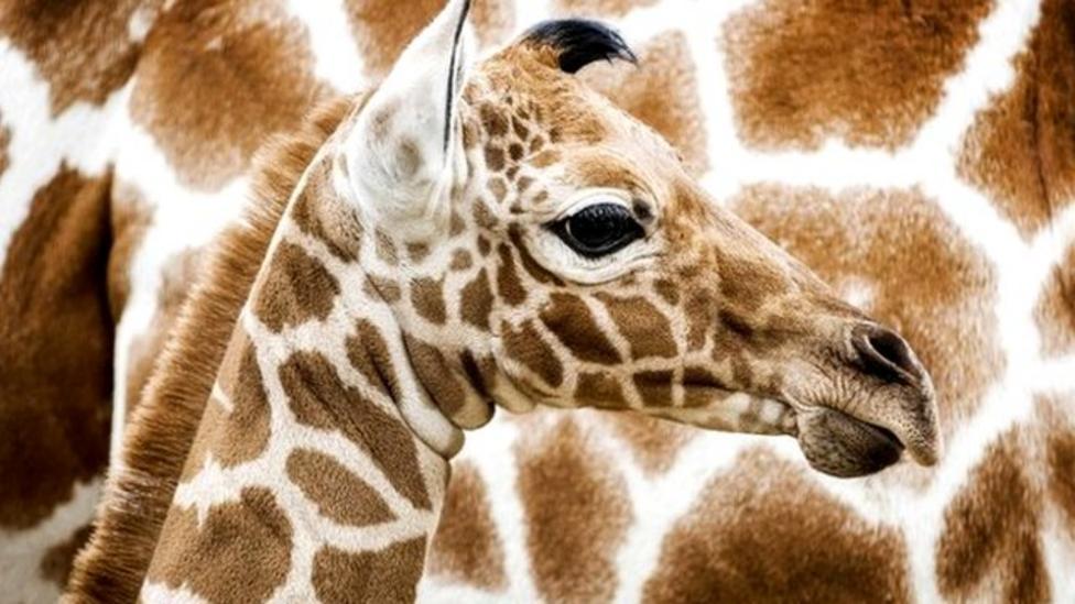 Top five giraffe facts