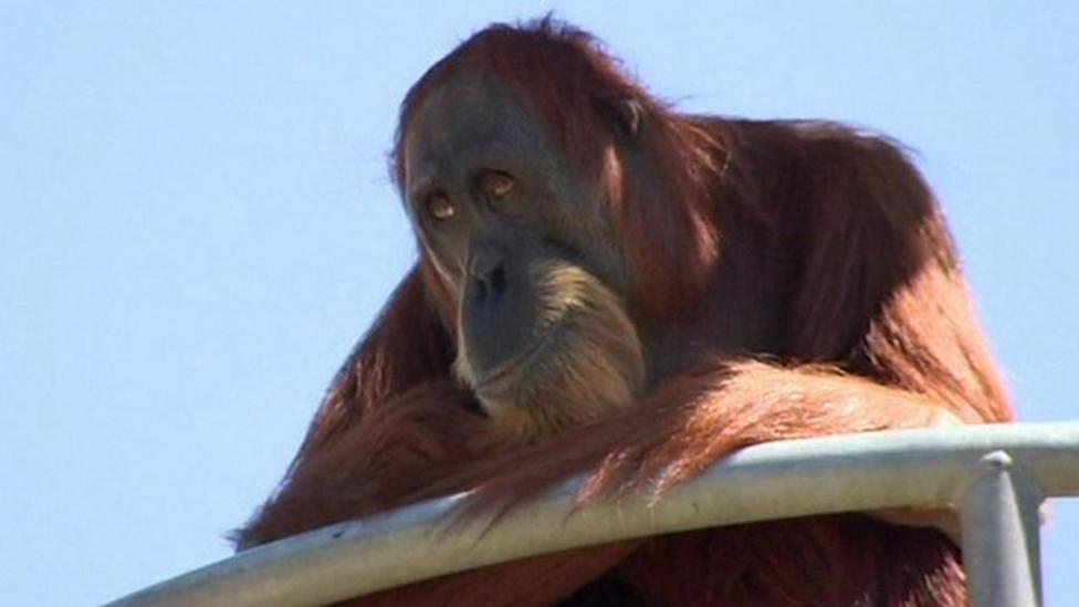 'Cranky' orangutan is world's oldest at 60