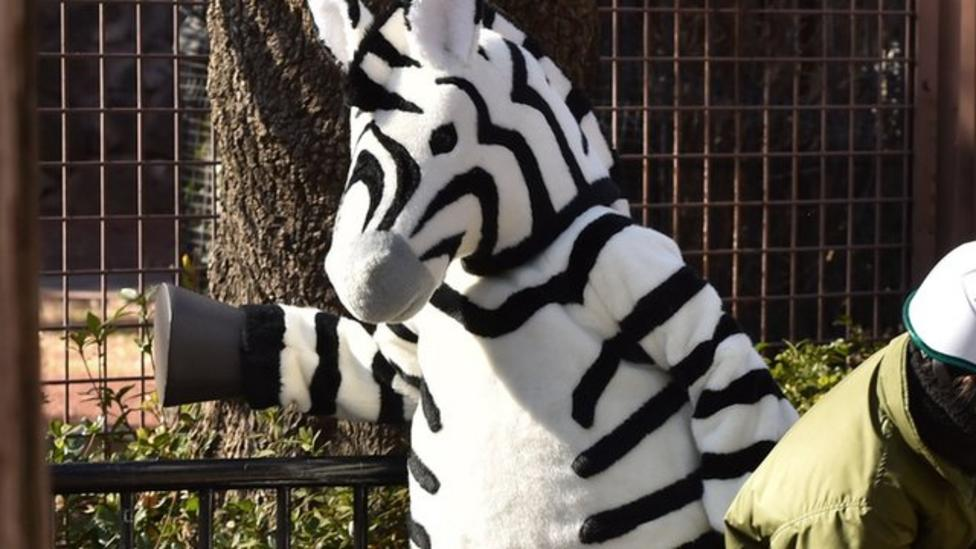 Zebra 'escapes' Japanese zoo