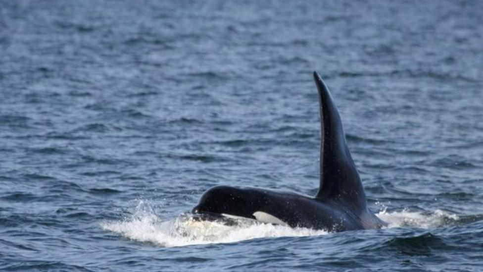 Comet the killer whale appears again