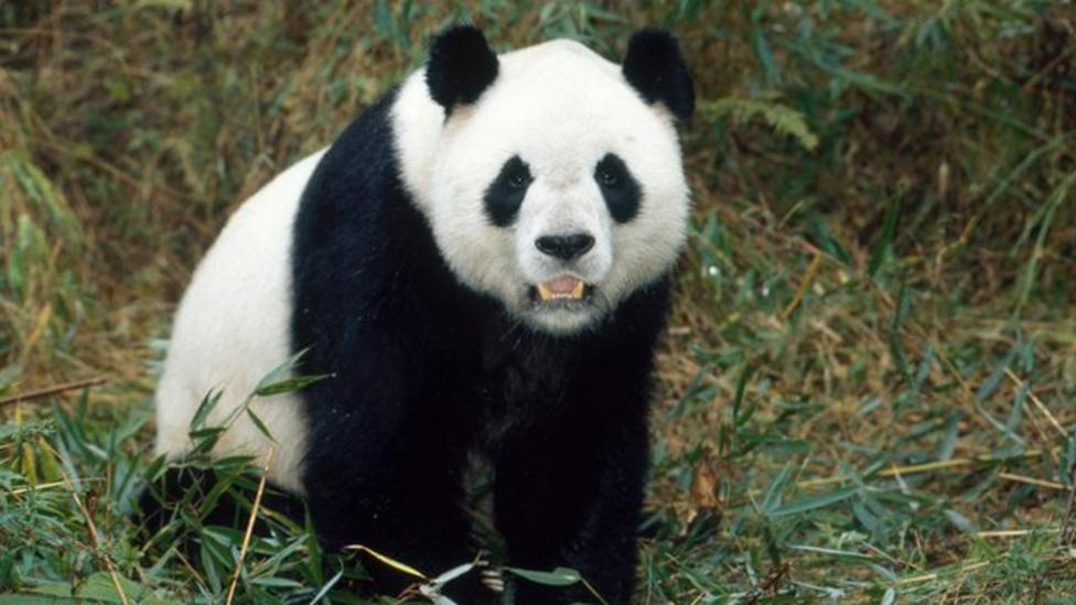 Two giant pandas released into the wild