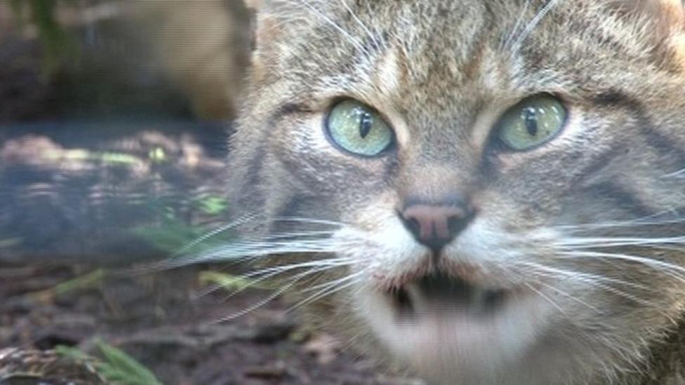 Rare wildcat kittens go on display