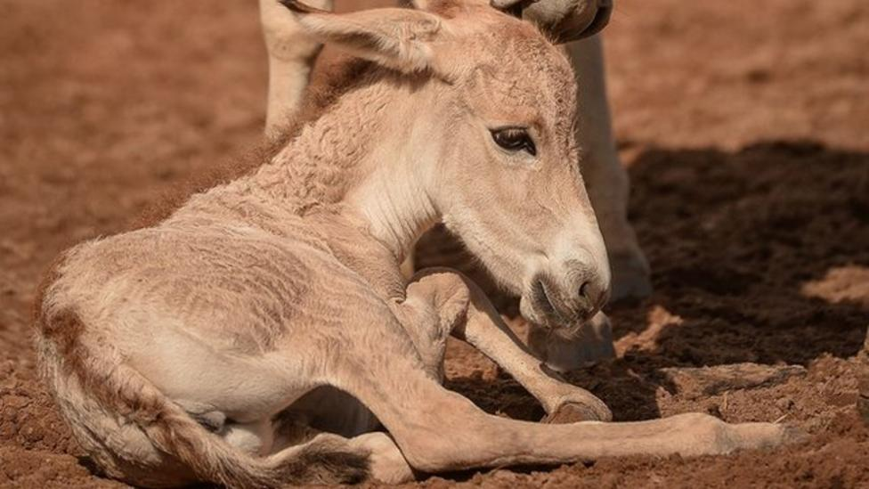 Rare onager foals born in the UK