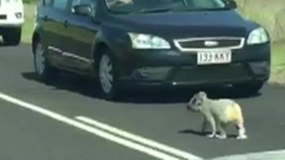 Koala stops traffic after taking a stroll