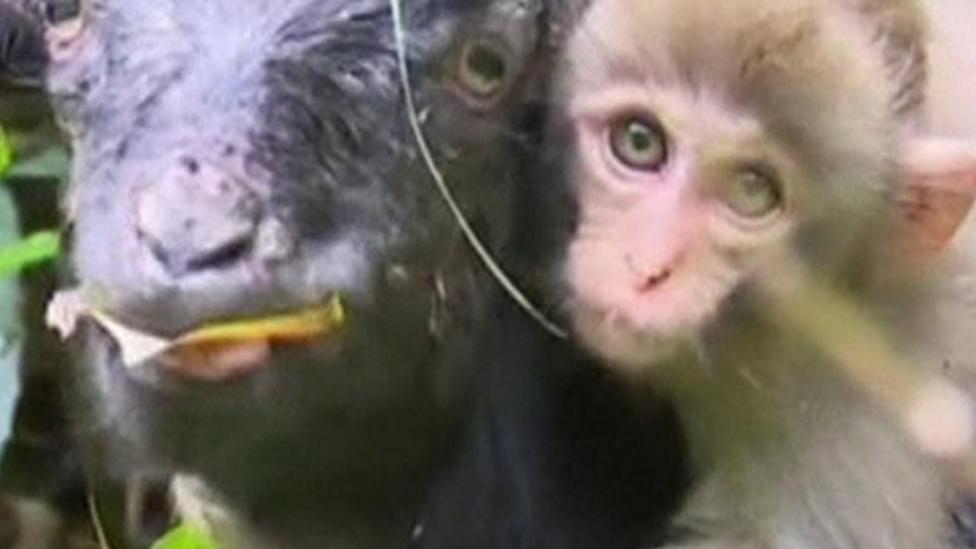 Goat gives monkey piggyback!