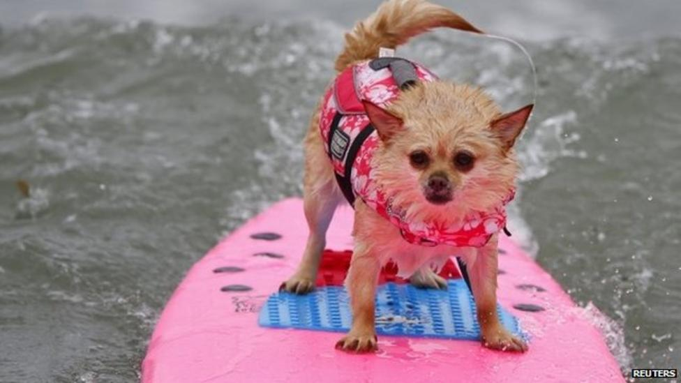 Dogs take to the waves in California