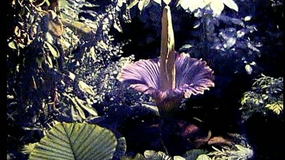 World's smelliest flower timelapse