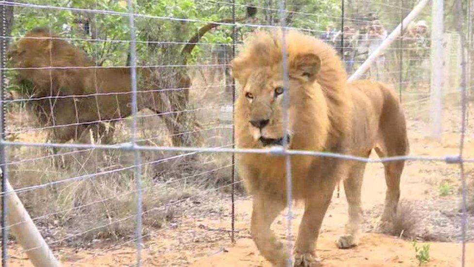 Circus lions reach new home in Africa