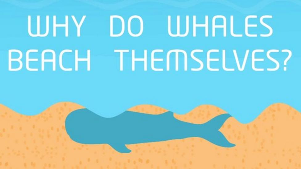 Why do whales beach themselves?