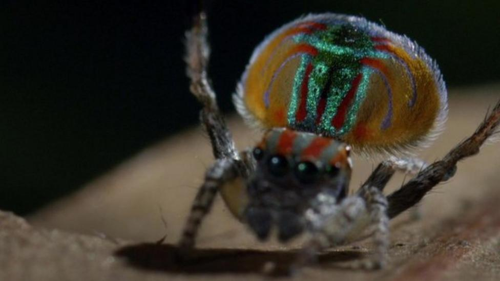 Backshall most impressed by Peacock Spider