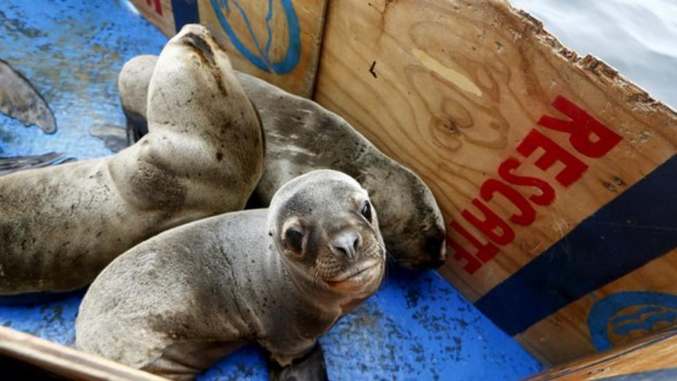 Rescued sea lions return to the ocean
