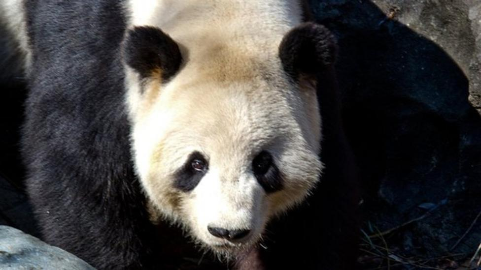 Giant panda still enjoying the snow