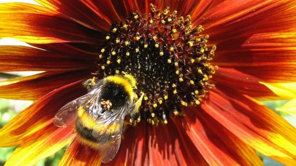 Bumblebees at 'risk from climate change'