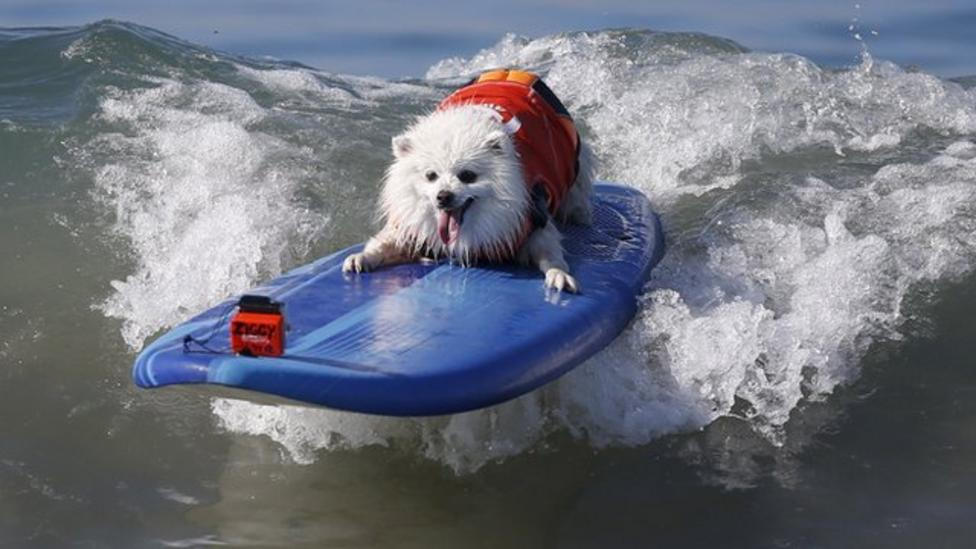 Top dogs hit the surf in California